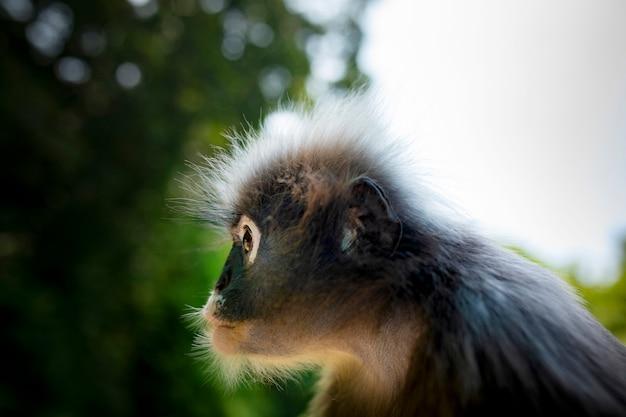 Close-up da cabeça do macaco sombrio do deserto