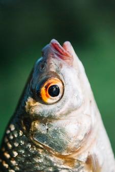 Close-up da cabeça do peixe contra o fundo desfocado