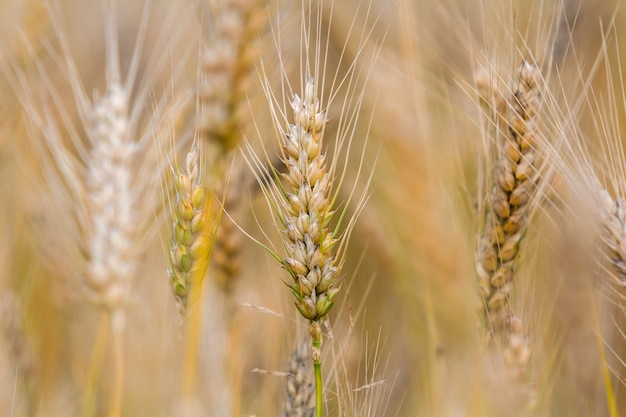Close-up da cabeça focalizada madura amarela dourada dourada morna do trigo no dia de verão ensolarado na luz nevoenta borrada macia do campo de trigo do prado - fundo marrom. agricultura, agricultura e conceito de colheita rica.