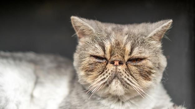 Close-up da cara suja de um gato persa listrado cinza
