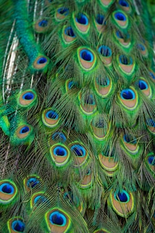 Close-up da cauda de um pavão. penas na cauda de um pavão. cores da natureza