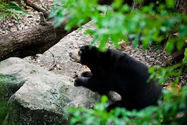 Close up da face de um urso preto no jardim zoológico.
