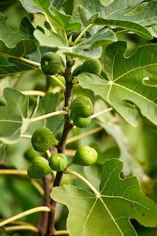 Close up da figueira comum com frutas e folhagens. as folhas verdes são lobadas e os figos não maduros.