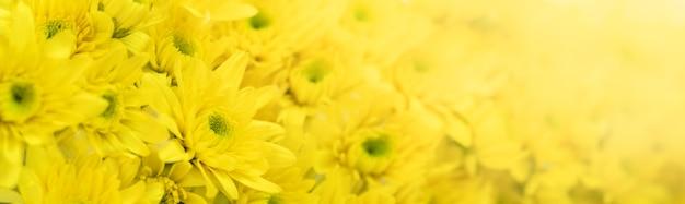 Close up da flor amarela das mães usando como plano de fundo a flora natural, o conceito de página de capa de ecologia.