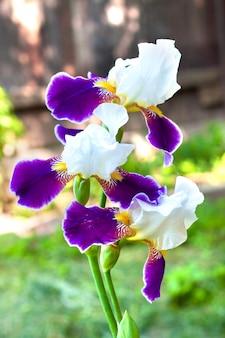 Close up da flor da íris violeta e branca
