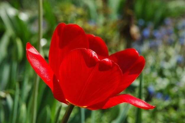 Close-up da flor da tulipa vermelha brilhante. o fundo está desfocado