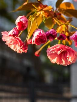 Close-up da flor de cerejeira no jardim.