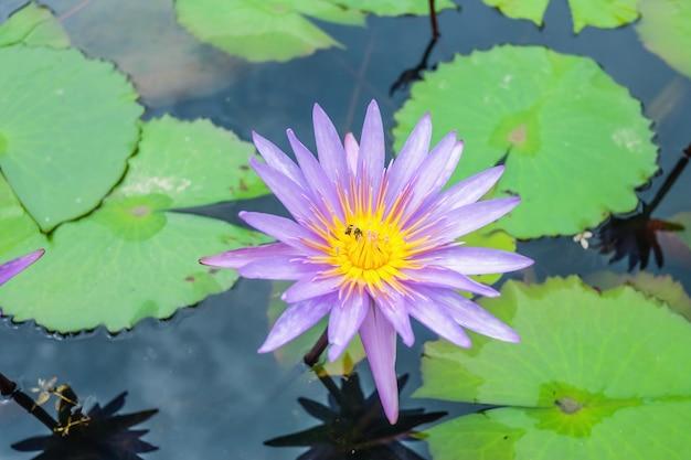 Close-up da flor de lótus roxa no lago de água com uma abelha voando