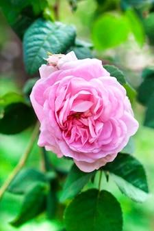 Close up da flor de rosa centifolia (rose des peintres)