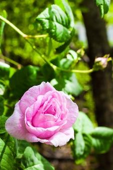 Close up da flor de rosa centifolia (rose des peintres).