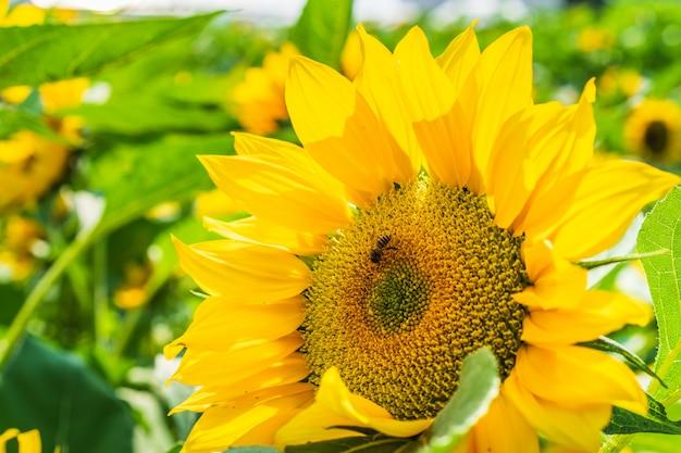 Close-up da flor e da abelha do sol.