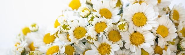 Close up da flor margarida branca em fundo branco com espaço de cópia.