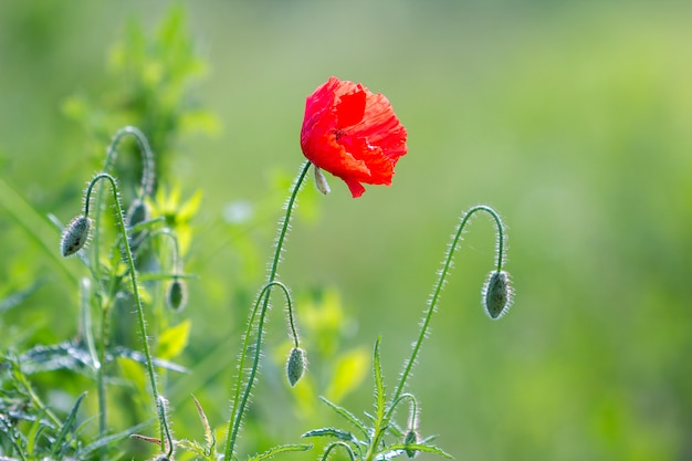 Close-up da florescência macia iluminada pelo sol do verão uma papoila selvagem vermelha e botões de flores não diluídos em hastes altas no brilhante borrado. beleza e ternura do conceito de natureza.