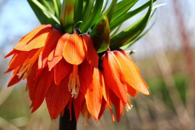 Close-up da fritillaria imperialis
