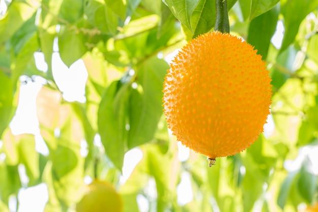 Close-up da fruta de gac, jackfruit do bebê.