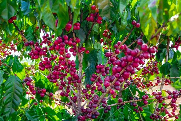 Close up da fruta do café na fazenda de café e plantações no brasil.