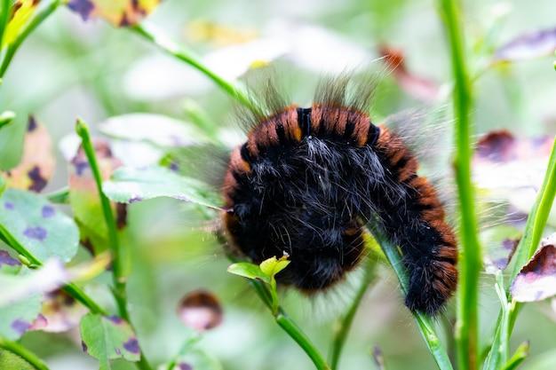 Close up da lagarta do urso woolly da mariposa tigre de jardim ou da grande mariposa tigre arctia caja assustada pelo predador enrolado em uma bola no chão.