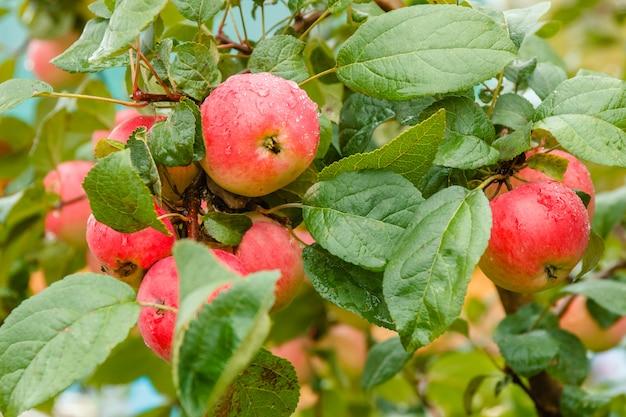Close-up da maçã madura vermelha no ramo no macio-foco no fundo.