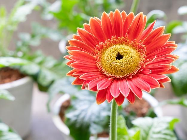 Close up da margarida alaranjada de florescência.