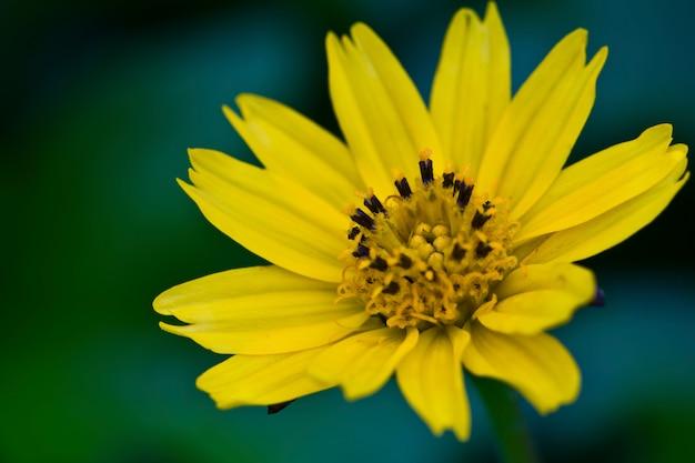 Close-up da margarida com pétalas amarelas