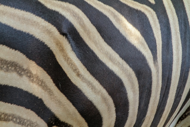 Close-up da pele da zebra