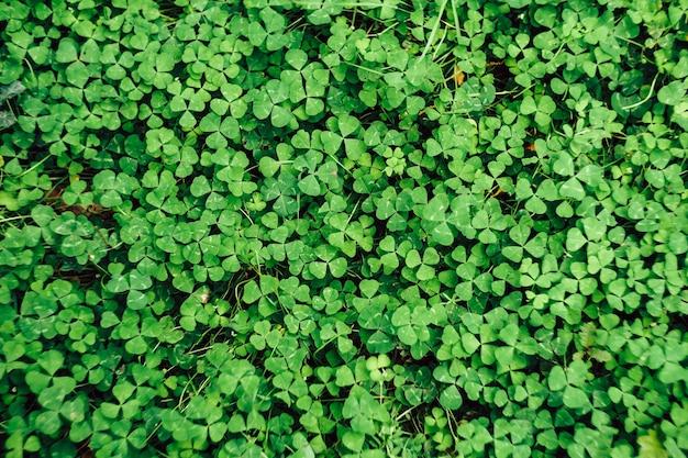 Close-up da textura do trevo no chão, vista superior. fundo verde natural no jardim.