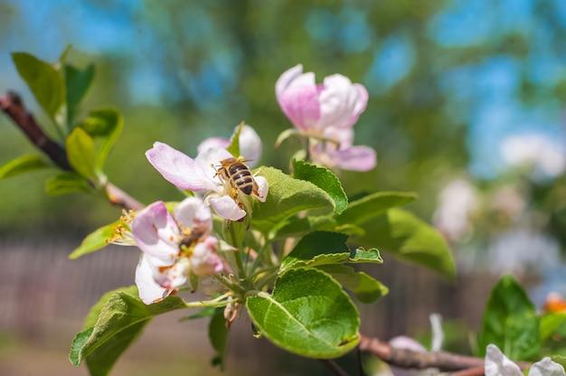 Close-up das árvores de florescência e espaço da cópia. uma abelha poliniza uma flor em um galho