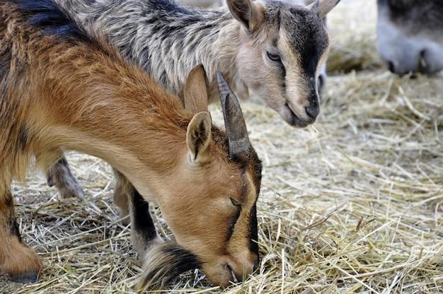 Close up das cabeças de duas cabras comendo capim