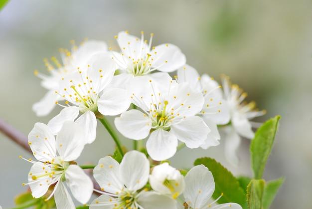 Close up das flores de cerejeira da primavera