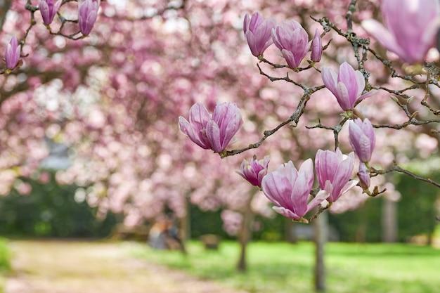 Close-up das flores de uma árvore de magnólia chinesa.