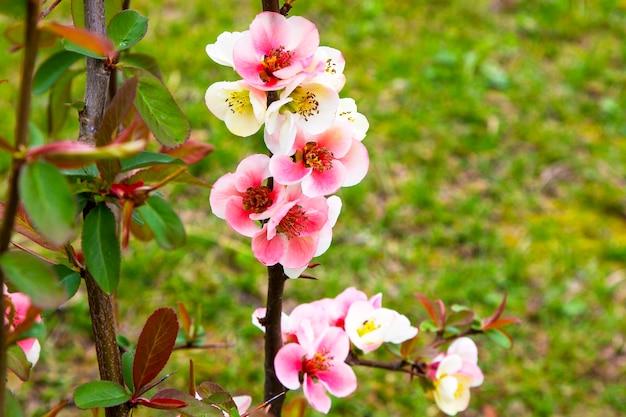 Close-up das flores rosas do arbusto chaenomeles japonica, comumente conhecido como marmelo japonês ou marmelo maula em um jardim ensolarado de primavera, lindas flores japonesas em um fundo floral, sakura