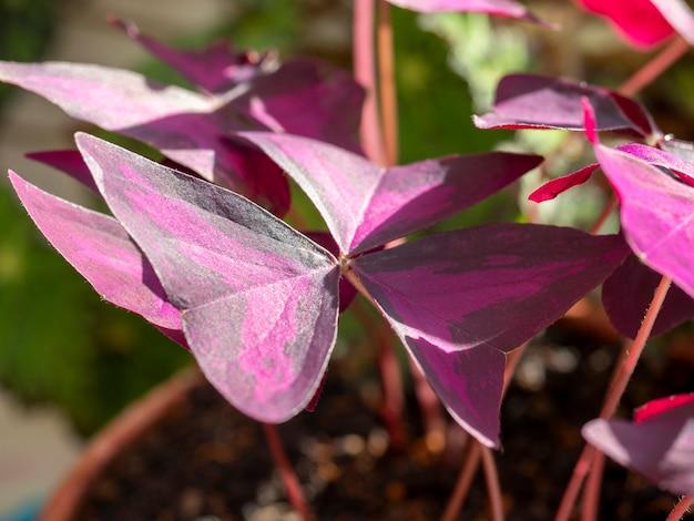 Close-up das folhas roxas de oxalis dos trevos nos raios. planta de interior