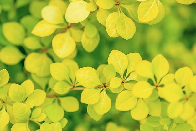 Close-up das folhas verdes-amarelas da bérberis japonesa