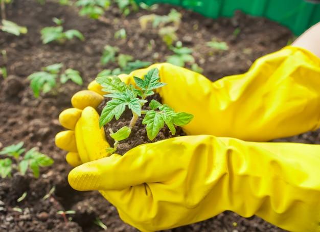 Close up das mãos da mulher nas luvas amarelas que plantam uma plântula na terra.