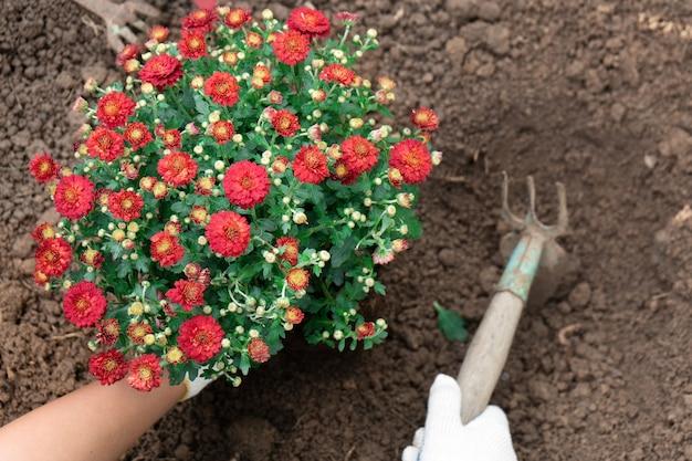 Close-up das mãos de jardineiro plantando crisântemos vermelhos no canteiro do jardim.