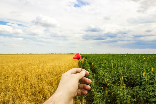 Close-up das mãos e flor de uma papoila selvagem, campo dos girassóis e trigo no fundo.