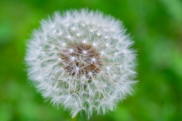 Close-up das sementes maduras do dente-de-leão prontas para voar.