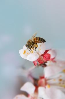Close-up de abelha recolhe o néctar em flores de damasco