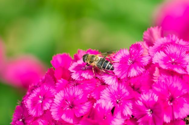 Close-up de abelha sentada na floração rosa flox