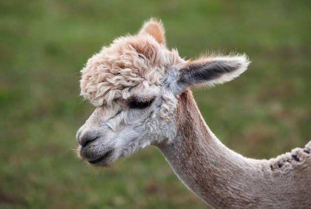 Close-up de alpaca na fazenda