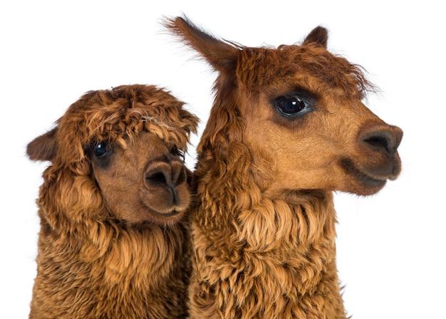 Close-up de alpacas, olhando para longe