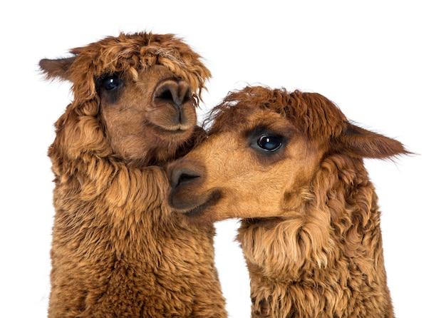 Close-up de alpacas