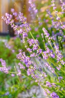 Close-up de arbustos de lavanda. uma imagem com flores de lavanda borradas e nítidas.