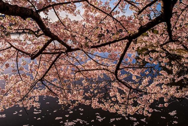 Close-up de árvore de flor de cerejeira