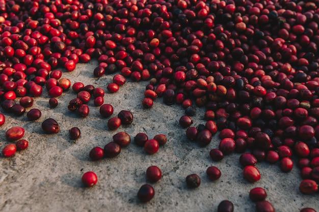 Close-up de bagas frescas de café arábica