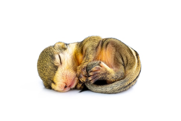 Close-up de bebê esquilo listrado birmanês