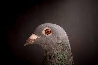 Close-up de belos olhos de pássaro de pombo de corrida de velocidade em fundo escuro
