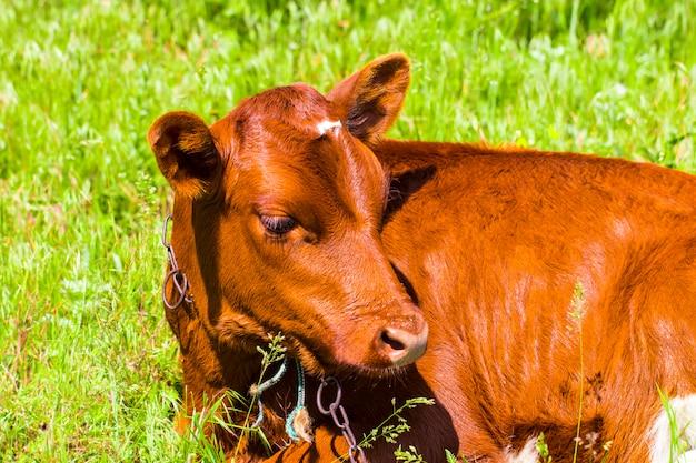 Close-up de bezerro jovem deitado no campo de grama, olhando ao redor cor de gado bonito vaca marrom