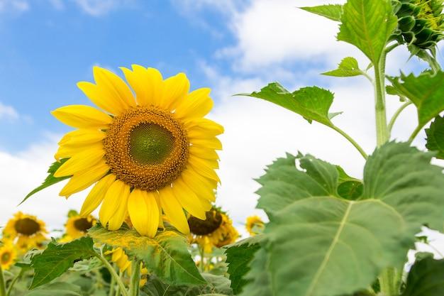Close-up, de, bonito, flor sol