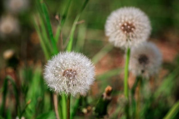 Close-up, de, branca, dandelion, bola